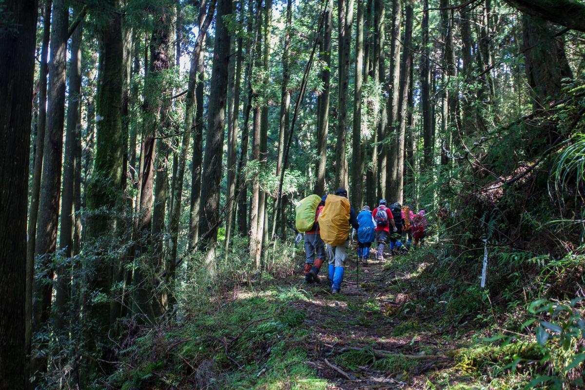 走在杉木的林道,其實很舒服。