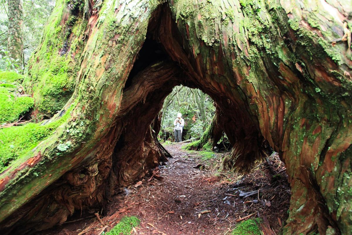 巨大的樹洞,也是美麗的景觀。