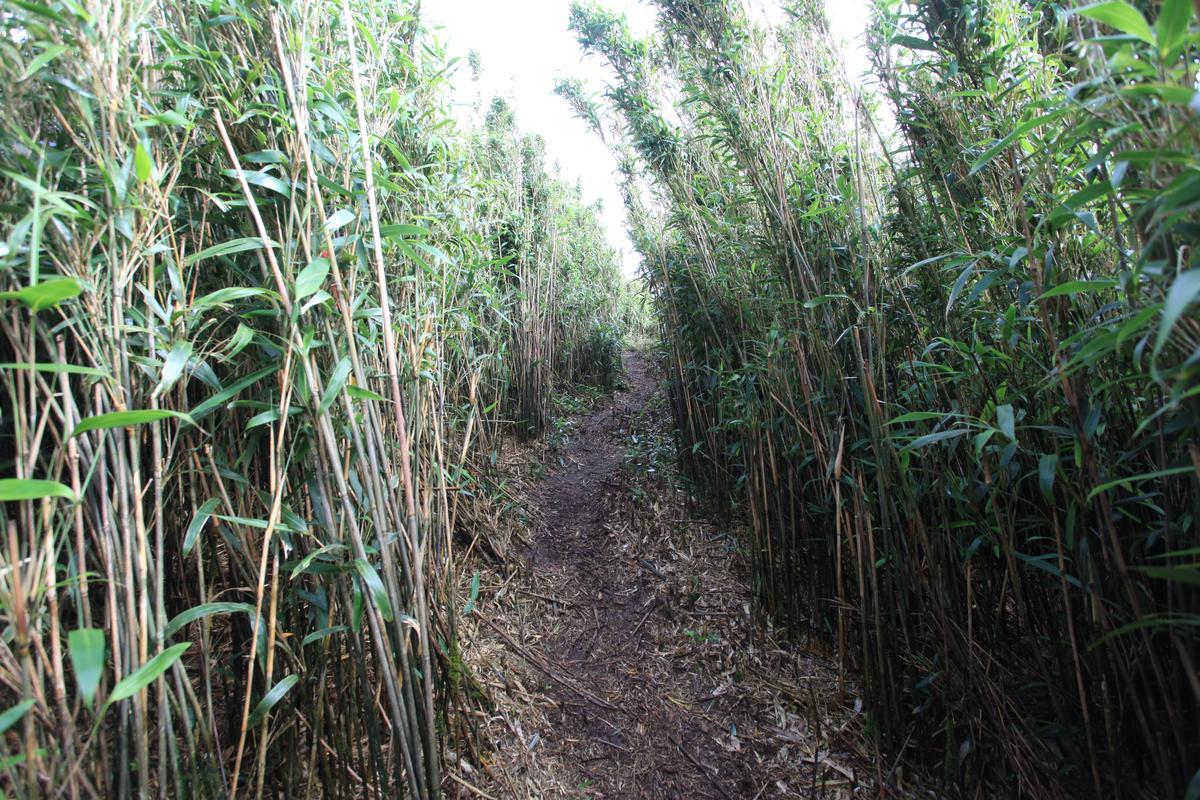 陡上的箭竹林。