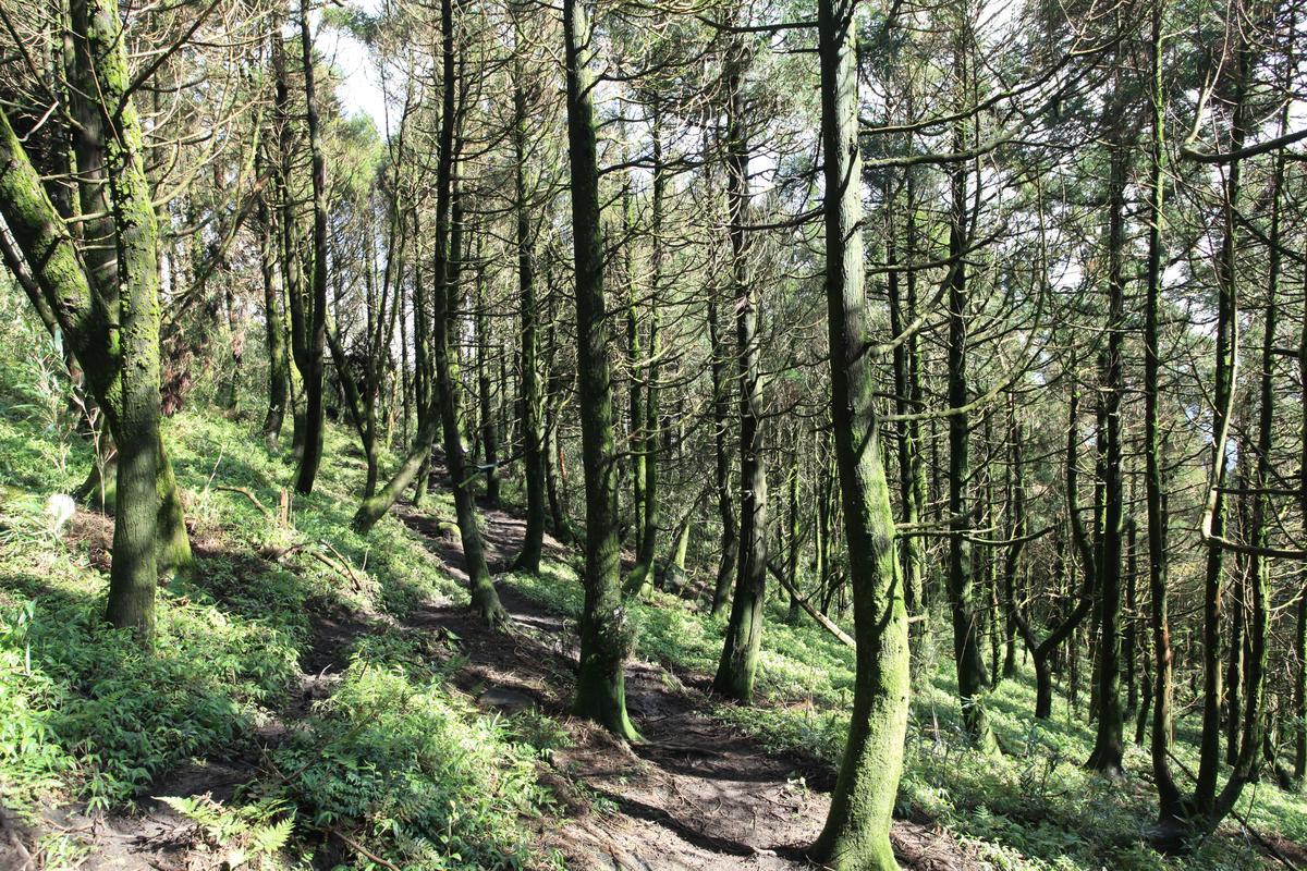 到主峰前的杉木林,絕美。