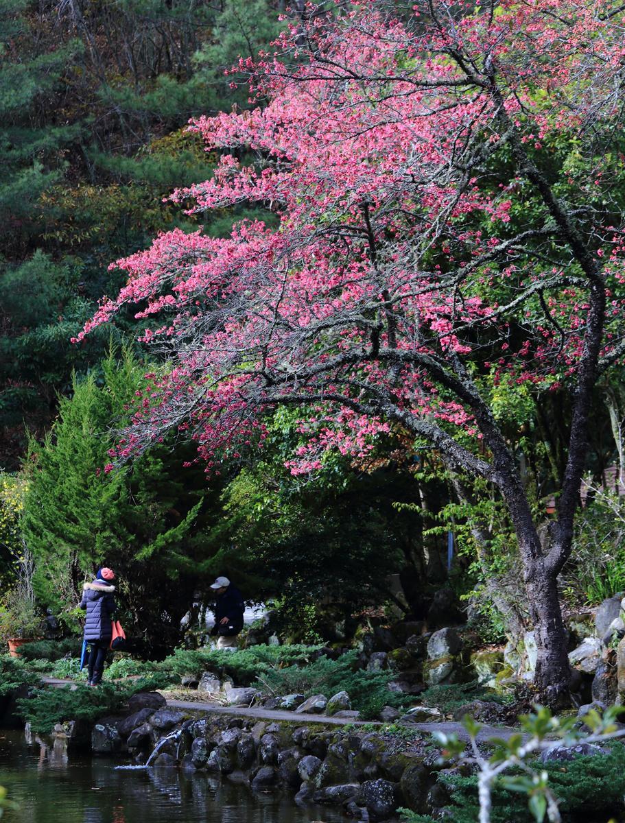 位於梅花梅后區旁水池畔的山櫻花已經盛開。