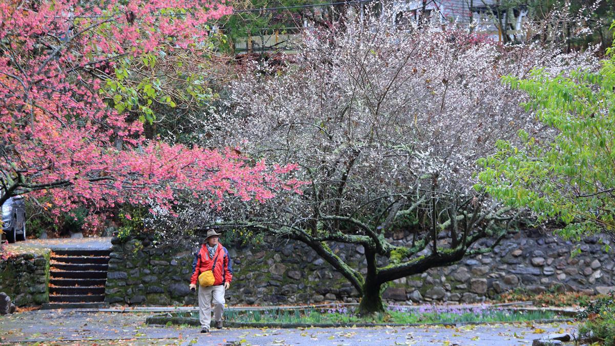 梅后與一旁的山櫻花相互映襯,紅色、白色與綠色等繽紛的顏色被大自然巧妙的調和。