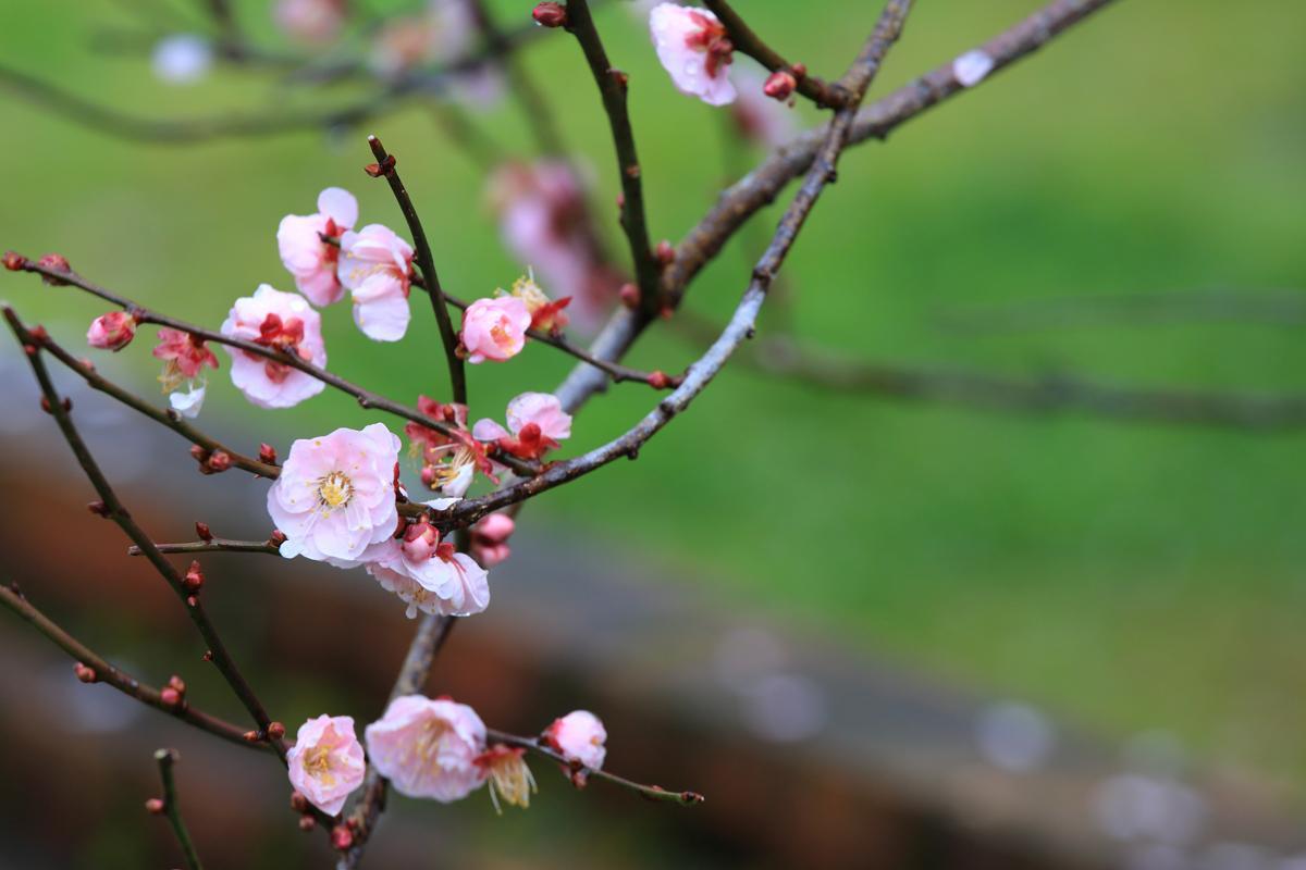 在臘梅區旁的一棵梅花樹與一旁的磚紅牆相映成趣。