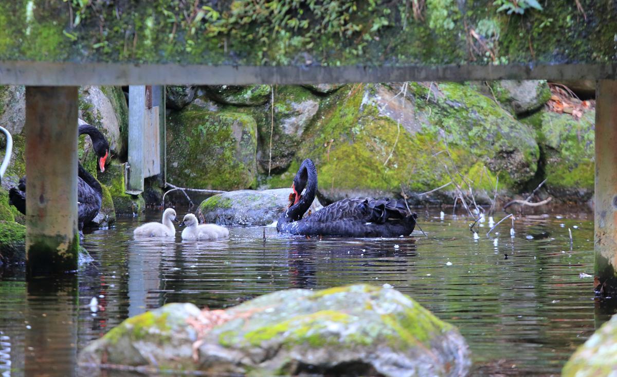 這次到訪武陵農場,剛好發現天鵝爸媽正在照顧兩隻小天鵝。