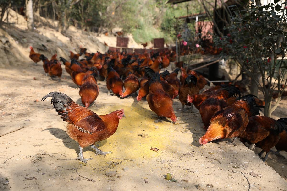 自家放養土雞,隻隻健康、充滿活力。