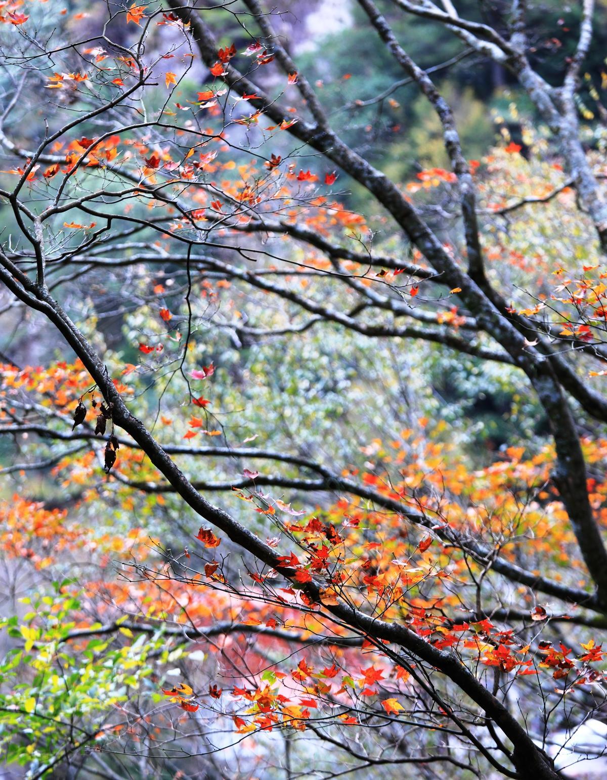 1月中旬造訪環山部落,能一次看到紅葉與梅花交織的秋冬之景。