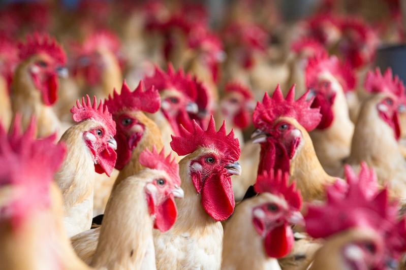 網路流傳,雞翅膀與雞脖子是雞隻施打荷爾蒙或生長激素的部位,女性應盡量少吃,避免患上子宮肌瘤或巧克力囊腫。