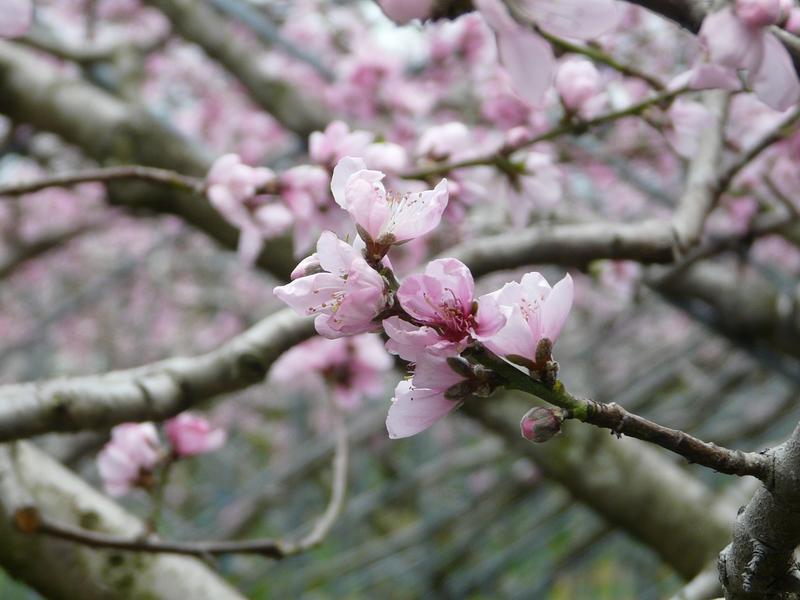 每年春天「梅峰有囍—春之饗宴」,粉嫩桃花綻放是許多遊客期待的美景。