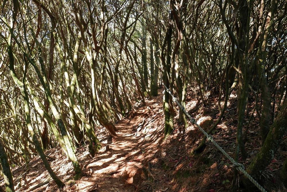 由鳶嘴山往稍來山的松針步道。