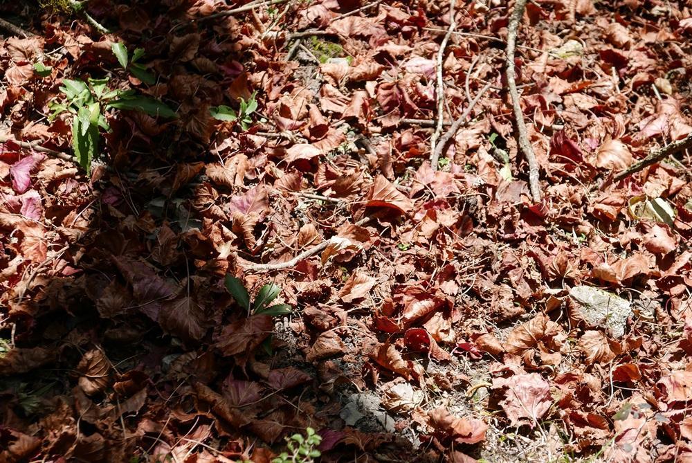 稍來山冬季時紅榨槭已落滿地。
