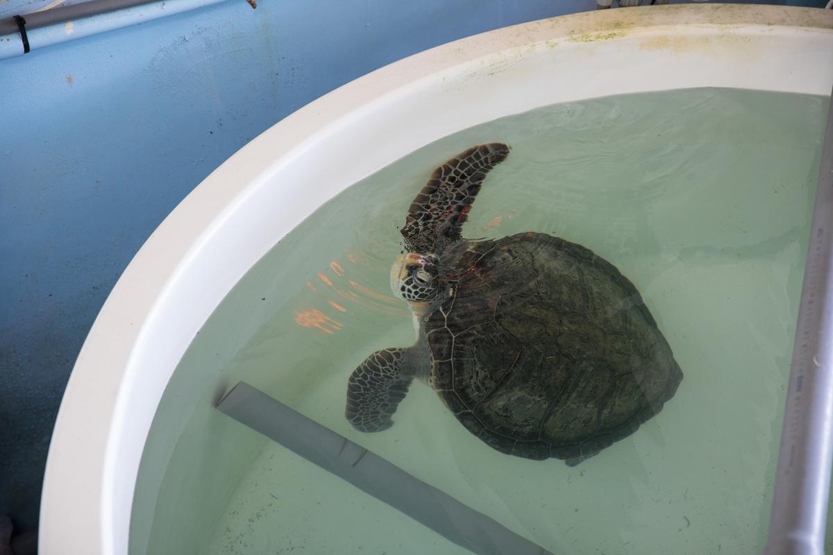 目前在海龜病房中「養病」的海龜。