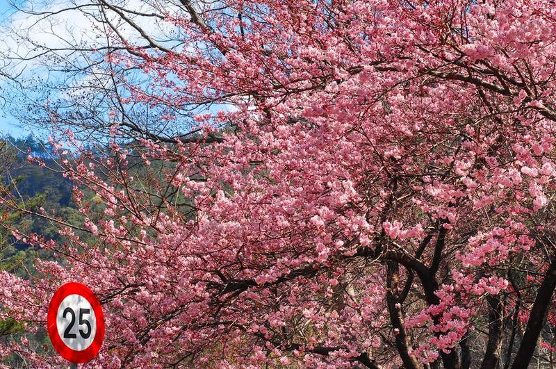 每年台灣櫻花季最讓人期待的,便是武陵農場的櫻花。