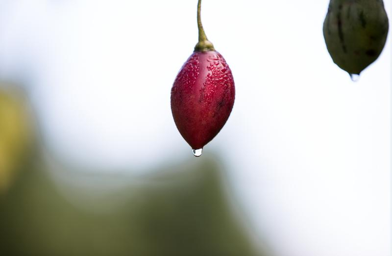 樹番茄色澤之鮮紅,被「春霖山園」老闆莊明諺形容為「紅寶石」。