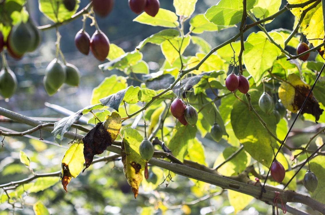 樹番茄生長所需的海拔高度與氣候,莊家農田正符合條件。