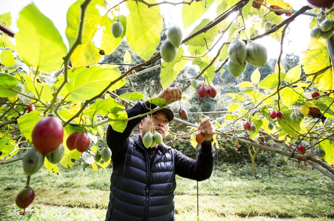 為了打進賣場通路,莊明諺和弘光大學產銷合作,測出樹番茄確切營養成份,包括茄紅素高於番茄六倍等。