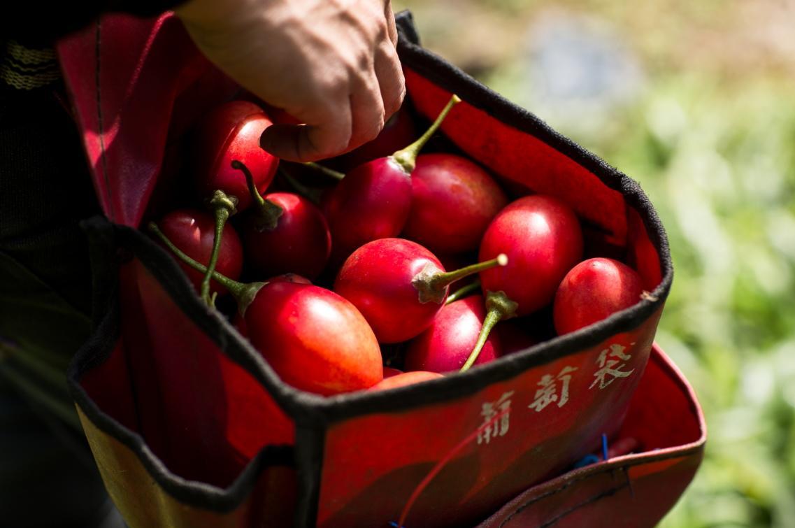 屬於常年果的樹番茄,在任何時間都能結果,生命力旺盛,連霸王級寒流都能抵擋。