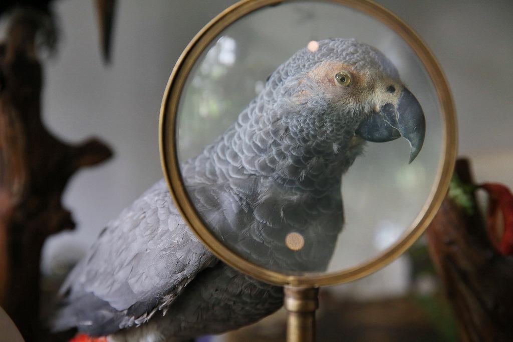 鸚鵡站在放大鏡後面,瞪大眼看著我。