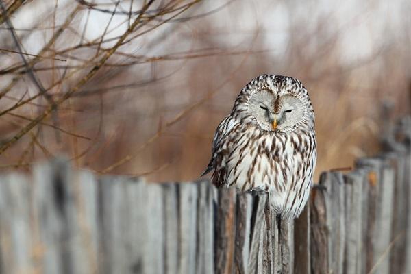 長尾林鴞,若無其事地站在籬笆上曬太陽。