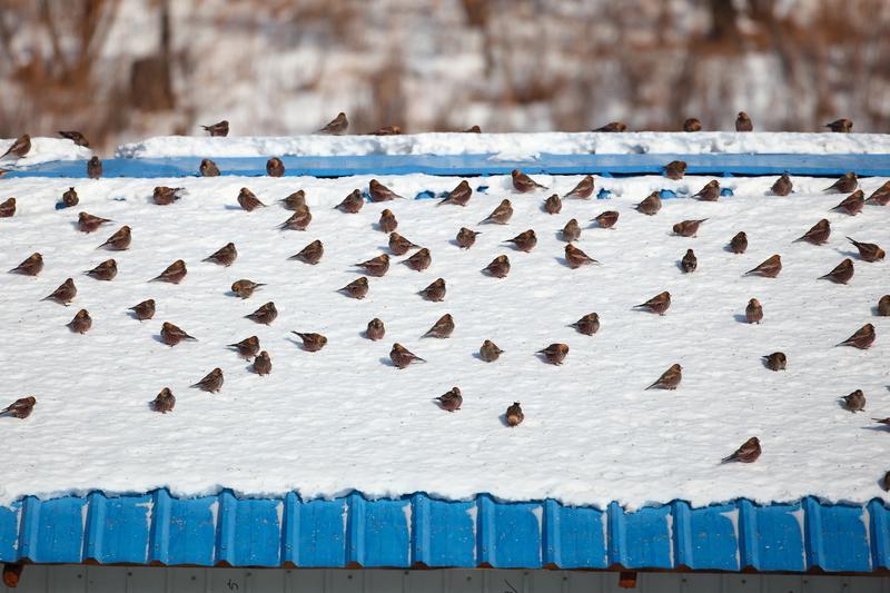 粉紅腹嶺雀,密密麻麻地站在覆雪的屋頂上。
