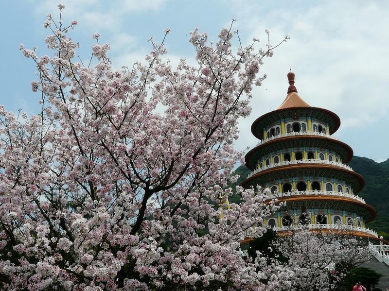 讓櫻花迷等了許久的天元宮吉野櫻已滿開。