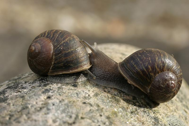 螺旋逆時針旋轉的傑瑞米(右),去年在倫敦Raynes Park的垃圾堆中,被英國自然史博物館的一名退休科學家意外發現,被送到了諾丁漢大學的實驗室接受「徵婚」。(東方IC)