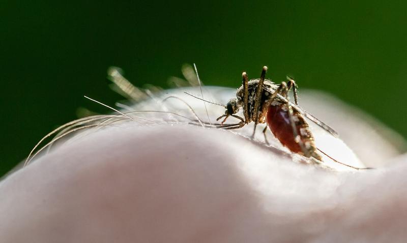一隻瘧蚊正在叮咬人的手。致命瘧疾多是透過瘧蚊傳播瘧原蟲造成人體發病。(東方IC)