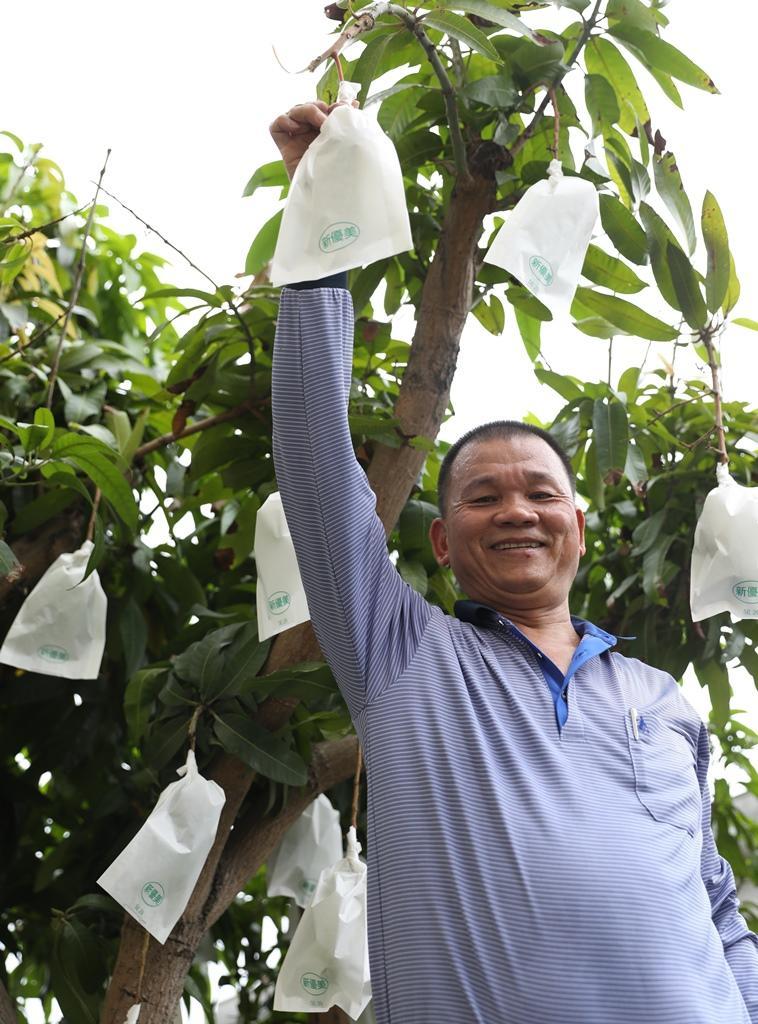 學農出身的黃榮裕是水果加工大王,採訪這天他正好在替院子的金煌芒果套袋。