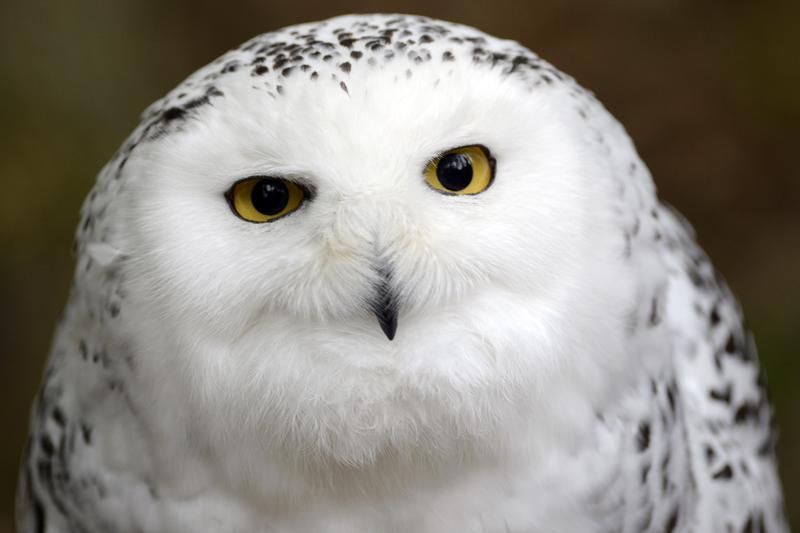 貓頭鷹因為《哈利波特》系列的推波助瀾,受到越來越多人的喜愛。