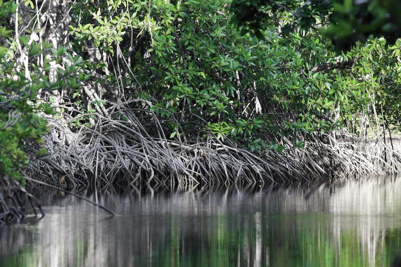 紅樹林,攝於婆羅洲。