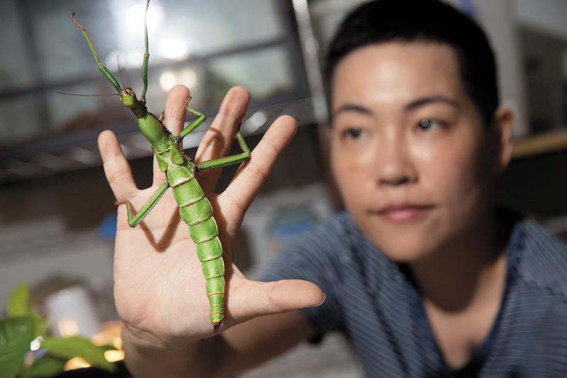 昆蟲課教學特色是讓孩子親身接觸昆蟲,吳沁婕說:「可以了解昆蟲並不可怕,並且尊重生命。」圖為綠椒竹節蟲。