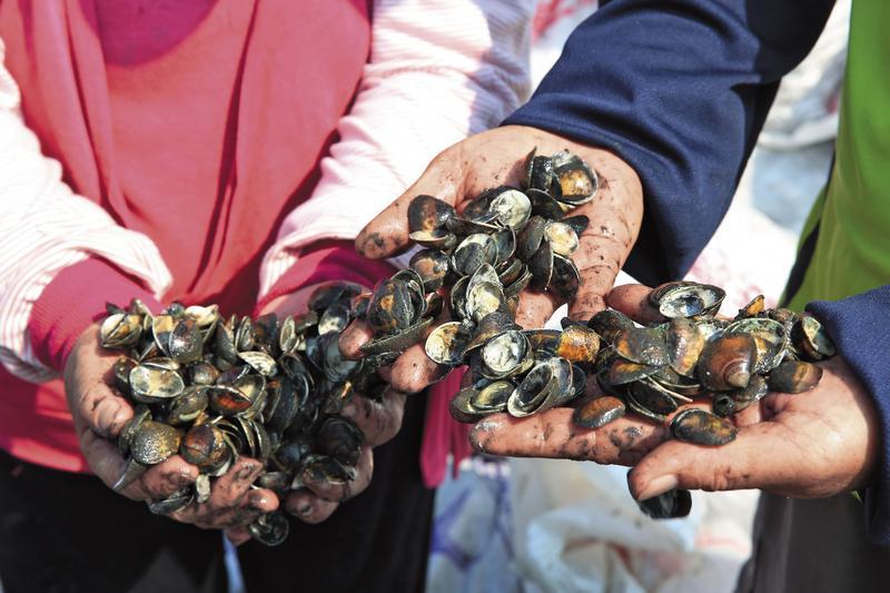 辛辛苦苦養了1年的文蛤卻在收成前開殼死亡,養殖戶懷疑是底渣汙染水源惹禍。