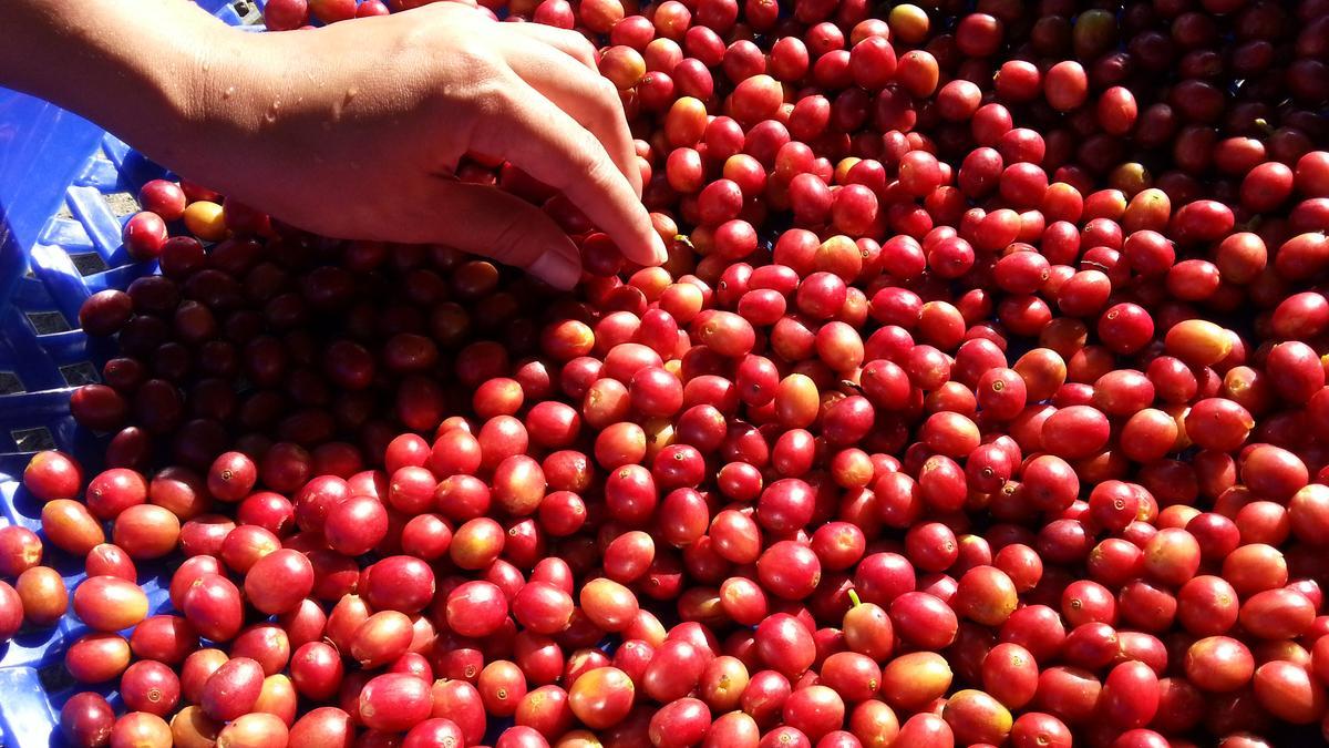 來自南投國姓鄉百勝村咖啡莊園的咖啡櫻桃,海拔雖低卻風味十足。(百勝村提供)