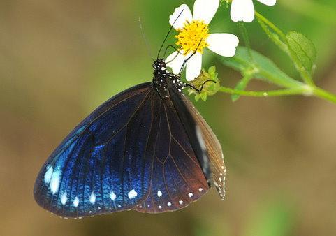 紫斑蝶因其蝶翼上的鱗粉經陽光折射,不同角度呈現夢幻紫光而得名。