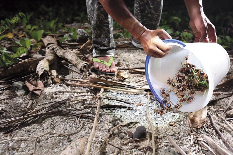 志工們將拾起的螃蟹拿到安全處放生,讓牠們安心孕育下一代。