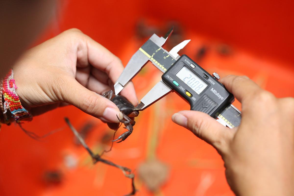 因環境壓力大,奧蟹被逼著性早熟,近年奧蟹的體型普遍偏小。