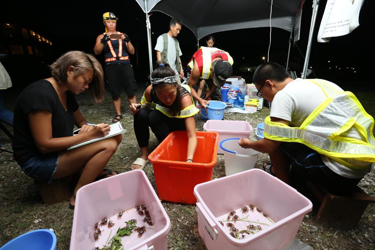 志工們將拾得的螃蟹紀錄編號後放生,當天幫助近百隻奧蟹過馬路。