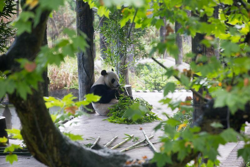 這是我們在四川碧峰峽看到的第一隻大熊貓,離我們非常遠,但是慵懶貌已讓人瘋狂。