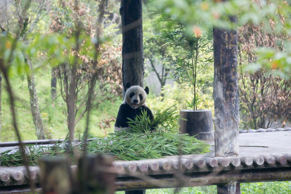 再靠近一點點,誰說大熊貓不可愛?