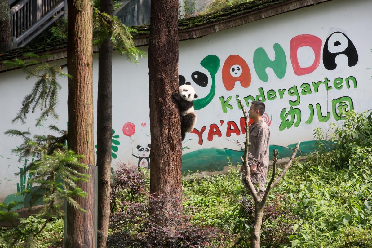 然後我們來到超邪惡的熊貓幼兒園,保安保安?怎麼樣可以直接報名當飼養員?
