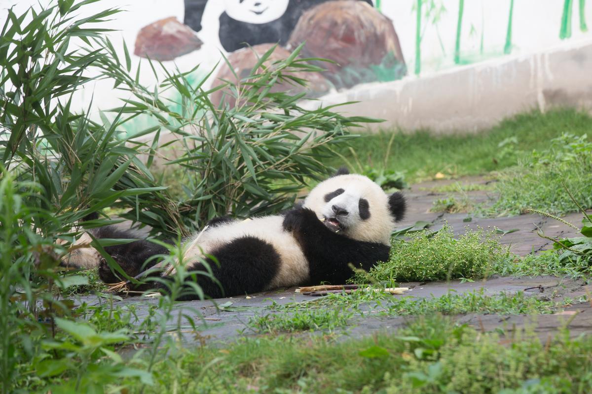 要燒多少香下輩子才能當熊貓?