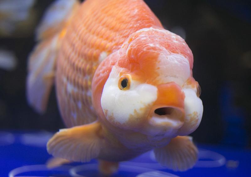 金魚的「酒量」,來自於體內獨特的代謝機制。(東方IC)