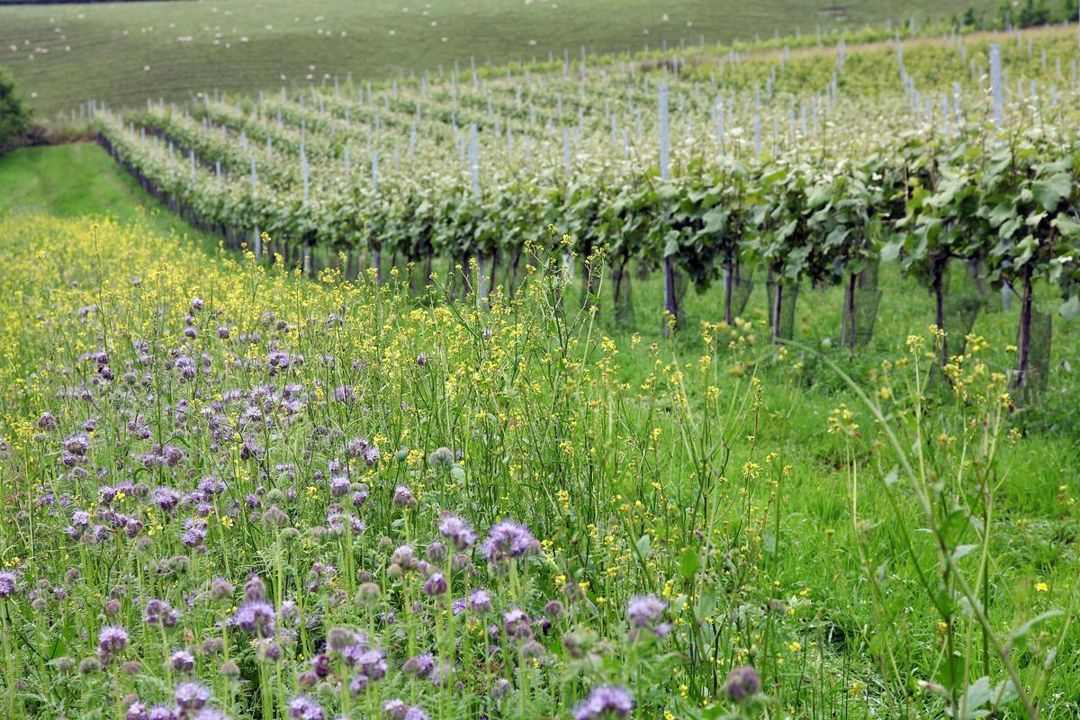「布萊谷酒莊」採有機農法,在葡萄藤間栽種菊葉蜈蚣花(Phacelia )防治蟲害,促進葡萄生長。(星坊酒業提供)