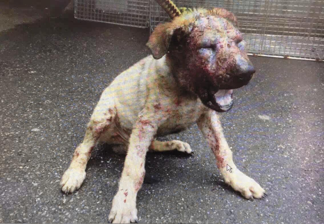這隻叫「可樂」的狗,得了毛囊蟲導致面目全非。