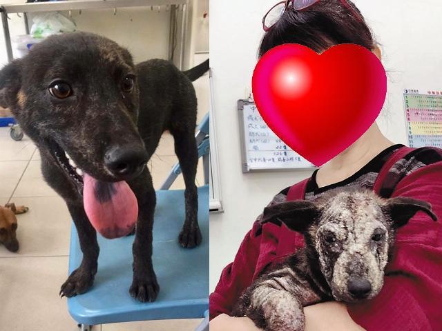 林珍奇愛狗的程度讓義工好友也笑她痴狂,連患有嚴重皮膚病的狗狗「小石頭」,她都照樣抱在手上。小石頭痊癒後(左圖)看起來健康又可愛。