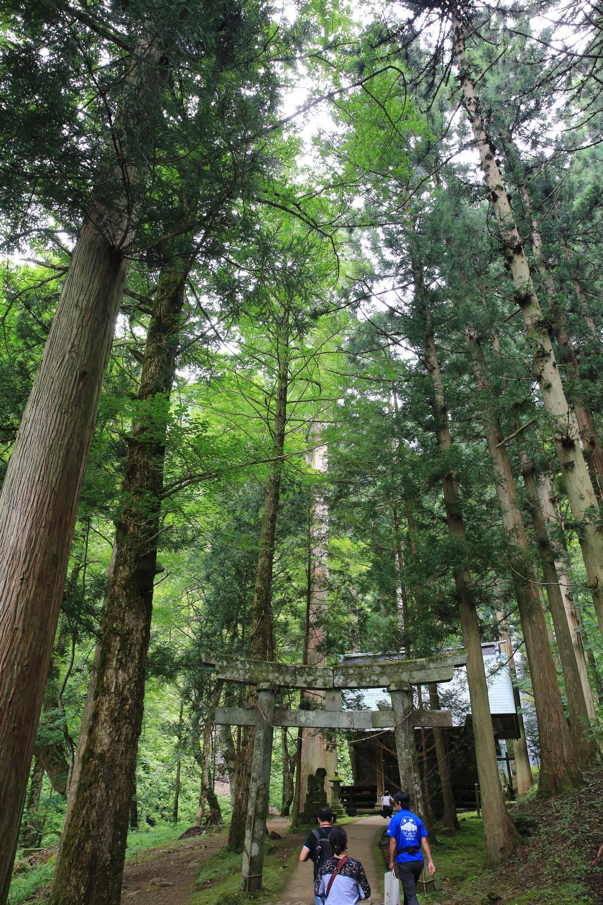 因著瀑布周圍的大杉木,充滿負離子能量而愈漸受歡迎。