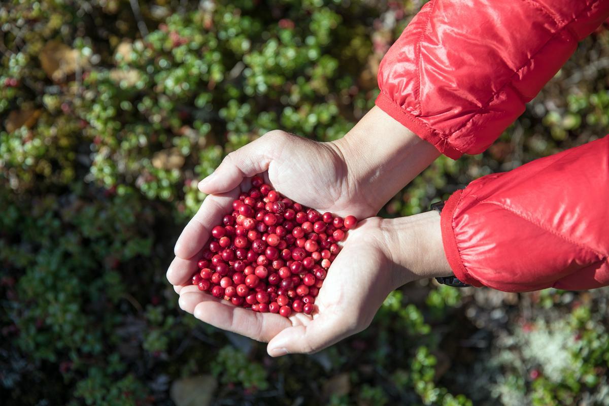 島上的莓果很多,採之前要先確認是否能食用,以免中標。