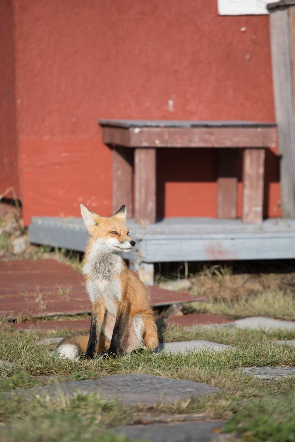 這隻被取名「鐵板燒」的狐狸,有時會出沒在小築周遭,還會乖乖定住讓人拍照。