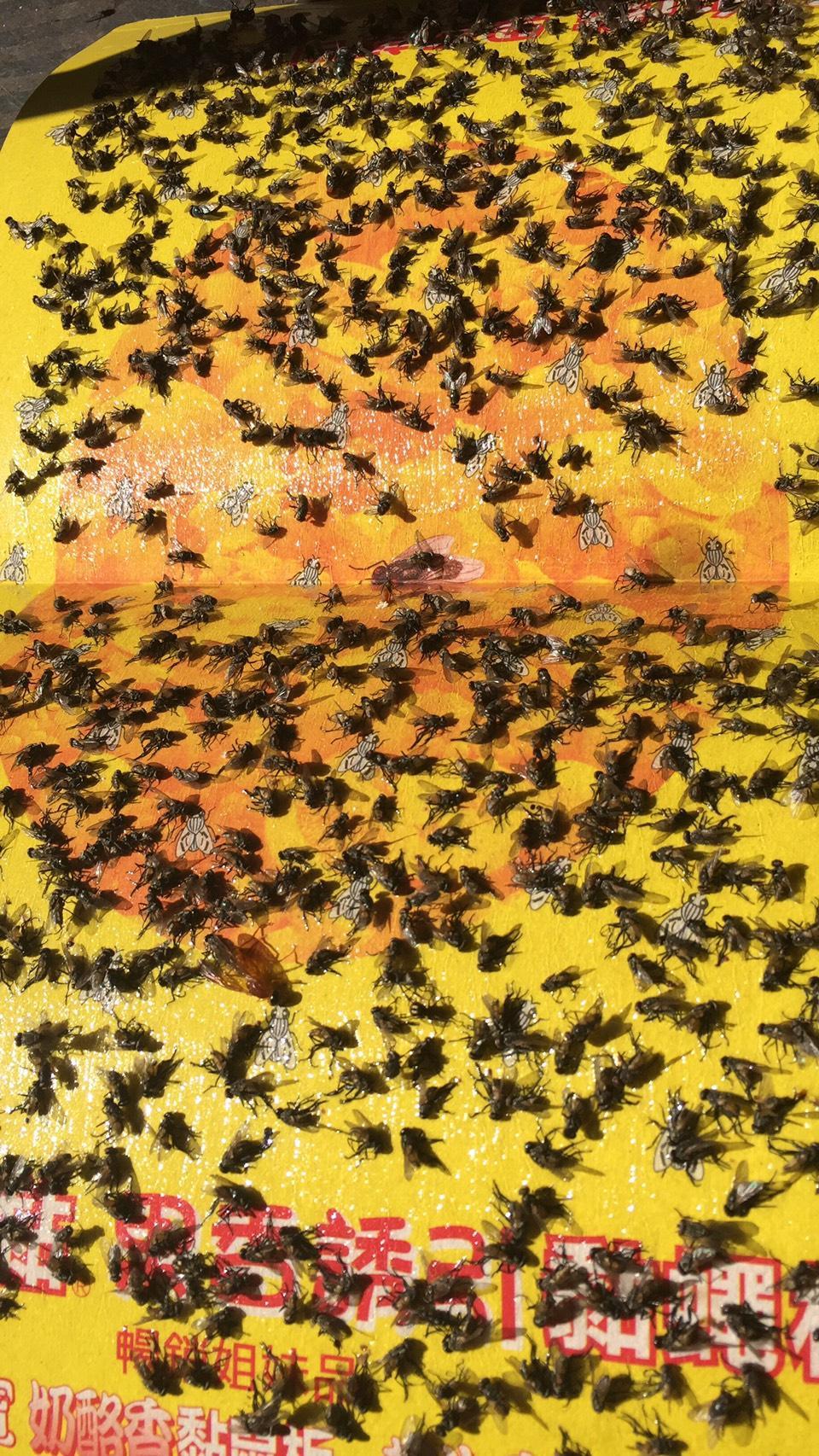 黏蠅板上布滿數萬隻蒼蠅,讓用餐客人避之唯恐不及。(民眾提供)