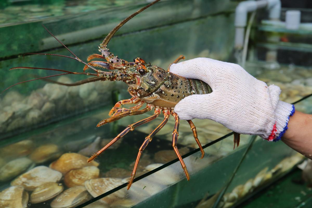台灣龍蝦體型不大,肉質卻非常鮮美。