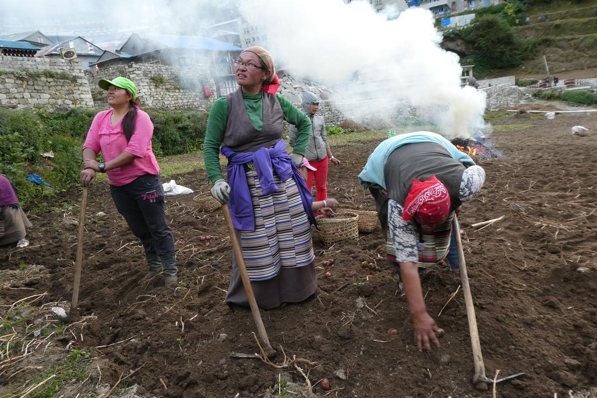 婦女們正在收成馬鈴薯。